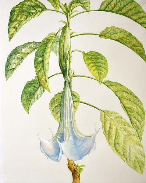 © Elena Maza-Borkland<br>Angel Trumpet (<i>Brugmansia</i> hybrid)<br>watercolor on vintage hand-made paper
