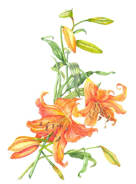 © Paula Tobenfeld<br>Lily Told Bud She Needed More Space (<i>Lilium</i> hybrid)<br>watercolor