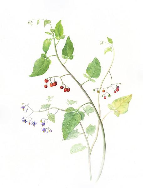 © Ann Lesciotto<br>Nightshade (<i>Solanum dulcamara</i>)<br>watercolor
