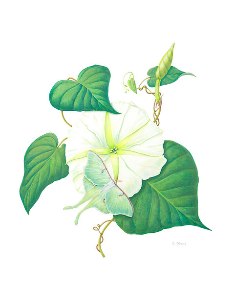 © Karen Coleman<br>La Luna (<i>Ipomoea alba</i> and <i>Actias luna</i>)<br>colored pencil and pastel