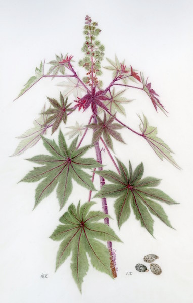 © Pamela Mason<br>Castor Bean (<i>Ricinus communis</i>)<br>colored pencil on drafting film