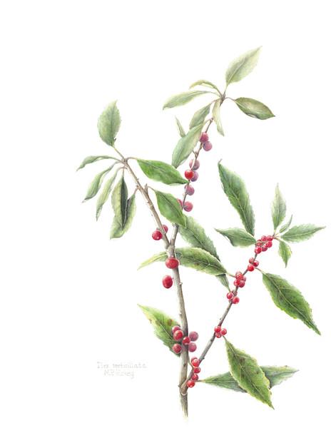 © Mary Page Hickey<br>Winterberry (<i>Ilex verticillata</i>)<br>watercolor