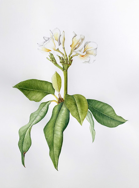 © Esther Carpi <br>Plumeria 'Waimakua White' (<i>Plumeria</i> 'Waimakua White')<br>watercolor and colored pencil