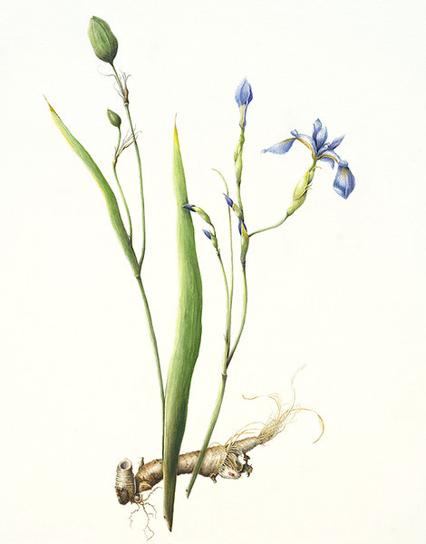 © Mary Page Hickey<br>Blue Flag (<i>Iris versicolor</i>)<br>watercolor