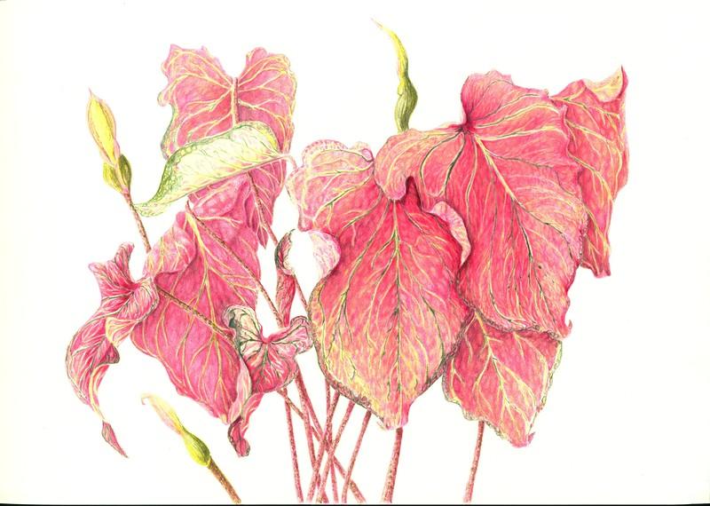 © Judy Thomas<br>Caladium bicolor 'Pink Symphony' (<i>Caladium bicolor</i> 'Pink Symphony')<br>colored pencil