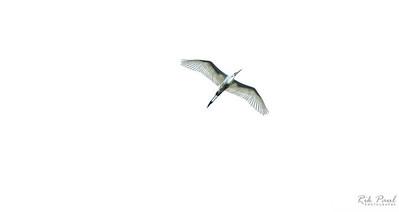 Egret aloft
