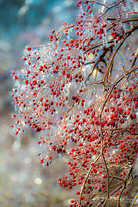 Winter berries in ice, 2