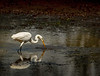 Great Egret -- drained lake