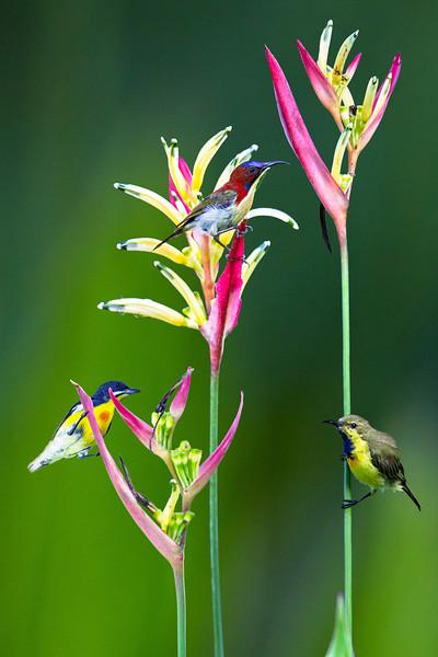 Birds of Paradise IV