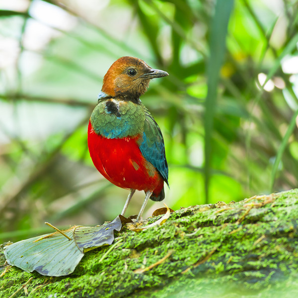 Red-bellied Pitta Pitta erythrogaster