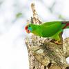 Colasisi Philippine Hanging-parrot Loriculus philippensis