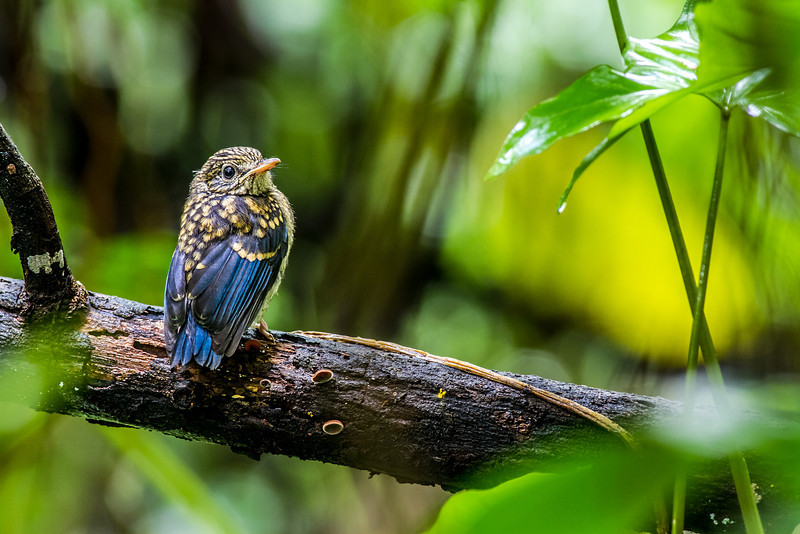 Mangrove Blue-flycatcher Cyornis rufigastra