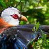 Scale-feathered Malkoha Phaenicophaeus cumingi