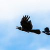 Large-billed Crow and Balicassiao