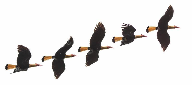 Writhed Hornbill Aceros leucocephalus
