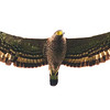 Philippine Serpent-eagle Spilornis holospilus