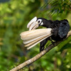 Palawan Hornbill Anthracoceros marchei