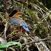 Whiskered Pitta Pitta kochi