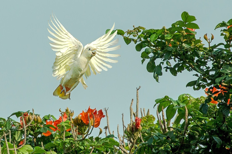 Philippine Cockatoo Cacatua haematuropygia