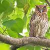 Philippine Eagle-owl Bubo philippensis