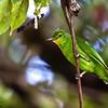 Philippine Leafbird Chloropsis flavipennis
