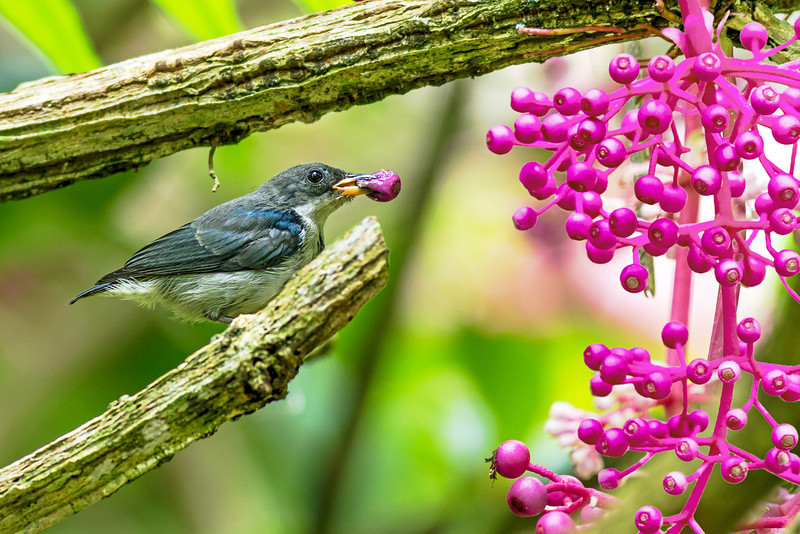 Visayan Flowerpecker Dicaeum haematostictum