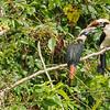 Mindoro Hornbill Penelopides mindorensis