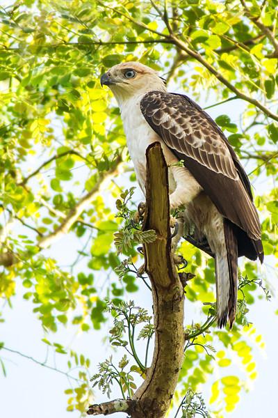 Philippine Hawk-eagle Nisaetus philippensis