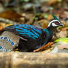 Palawan Peacock-pheasant Polyplectron napoleonis
