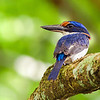 Rufous-lored Kingfisher Todiramphus winchelli