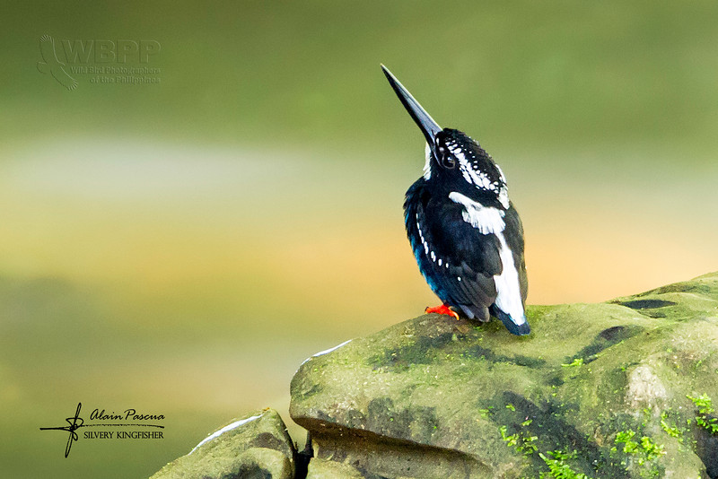 Silvery Kingfisher Alcedo argentata