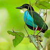 Azure-breasted Pitta Pitta steerii