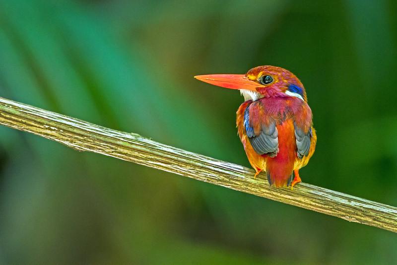 Philippine Dwarf-kingfisher Ceyx melanurus