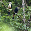 Visayan Hornbill Penelopides panini
