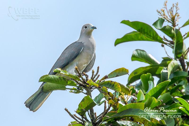 Grey Imperial-pigeon Ducula pickeringii