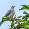 Grey Imperial-pigeon Ducula pickeringii
