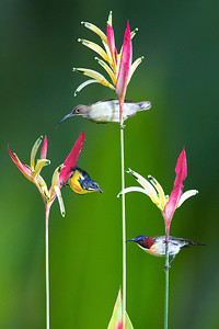 AlainPascua_BirdsofParadise-B
