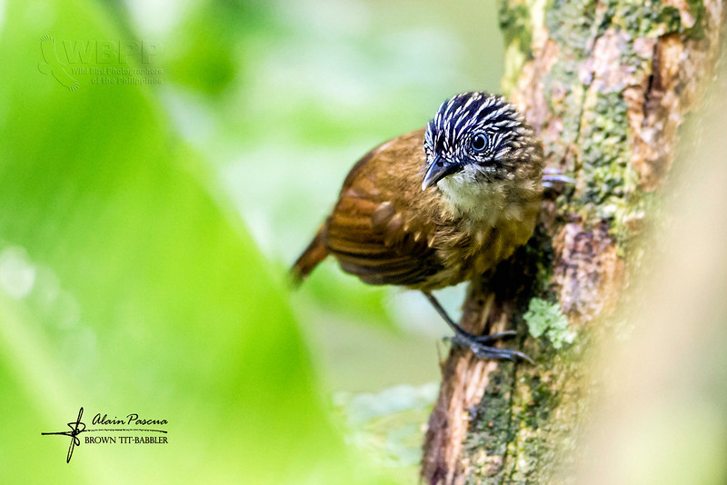 Brown Tit-babbler Macronous striaticeps