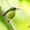 Metallic-winged Sunbird Aethopyga pulcherrima
