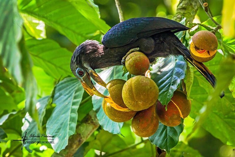 """Female<br /> Lake Sebu, South Cotabato<br /> <a href=""""http://www.birdlife.org/datazone/speciesfactsheet.php?id=961"""">http://www.birdlife.org/datazone/speciesfactsheet.php?id=961</a>"""