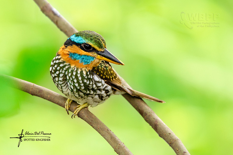 Spotted Kingfisher Actenoides lindsayi