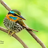 Spotted Kingfisher Actenoides lindsayi