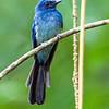 Mindanao Blue Fantail Rhipidura superciliaris