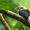 Mindanao Hornbill Penelopides affinis