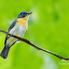 Palawan Blue-flycatcher Cyornis lemprieri