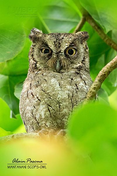 Mantanani Scops-owl Otus mantananensis