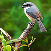 Mountain Shrike Lanius validirostris