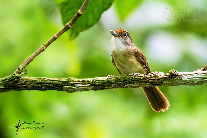 Melodious Babbler Malacopteron palawanense
