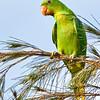 Blue-naped Parrot Tanygnathus lucionensis