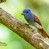 Blue Paradise-flycatcher Terpsiphone cyanescens